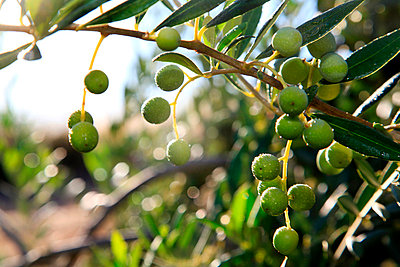 Olive tree - p6180286 by Capturaimages