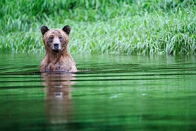 Canada, Khutzeymateen Grizzly Bear Sanctuary, Female grizzly in lake - p300m982230f by Fotofeeling