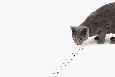 Russian Blue cat hunting - p429m976445 by Kevin C Moore