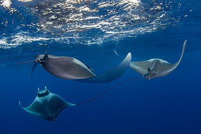 Spinetail devil rays (Mobula mobular) engaged in sexual courtship in Honda Bay, Palawan, The Philippines, Southeast Asia - p871m2122923 by Duncan Murrell