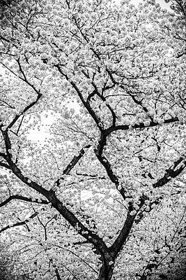 Cherry blossom season - p1042m1020618 by Cardinale