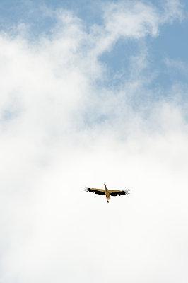 Weißstorch im Flug - p1079m1184976 von Ulrich Mertens