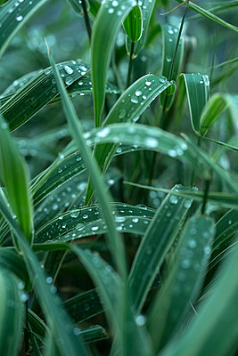 Dewdrops on grass - p427m939651 by Ralf Mohr