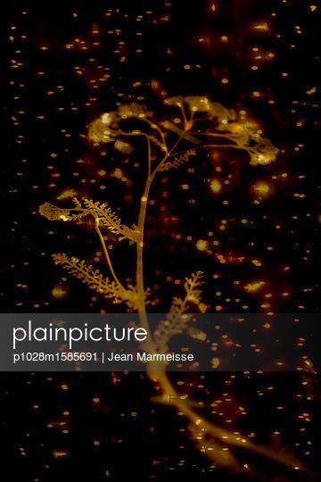 Yarrow (Achillea millefolium - Asteraceae) - p1028m1585691 von Jean Marmeisse