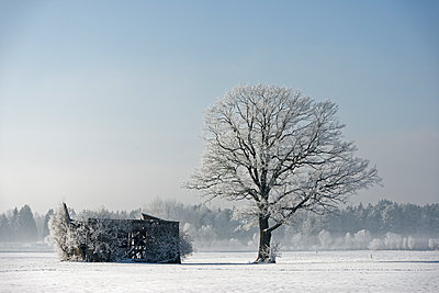 Germany, Bavaria, frost-covered tree besides decayed barn - p300m1113380f by Lisa und Wilfried Bahnmüller