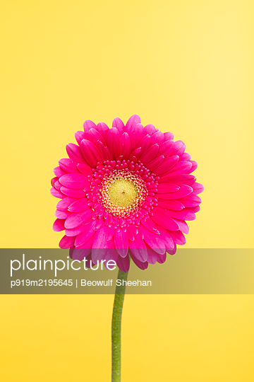 Pink gerbera gainst yellow background - p919m2195645 by Beowulf Sheehan