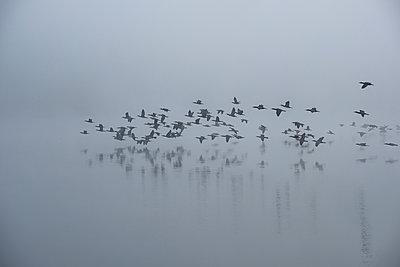 Cormorants in the autumn mist - p739m2039118 by Baertels