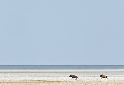 Blue Wildebeest pair in salt pan, Etosha Pan, Etosha National Park, Namibia - p884m1356996 by Yva Momatiuk & John Eastcott