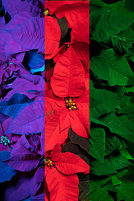 Colourful Poinsettias  - p919m2230932 by Beowulf Sheehan