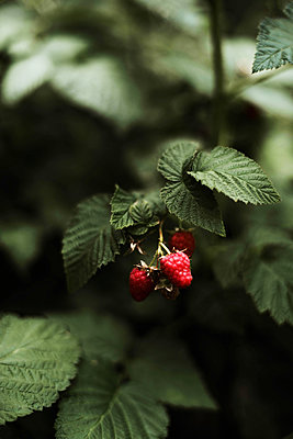Red raspberry on the vine. - p1166m2094548 by Cavan Images
