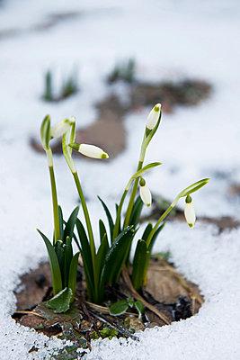 Snowdrops - p533m1016159 by Böhm Monika