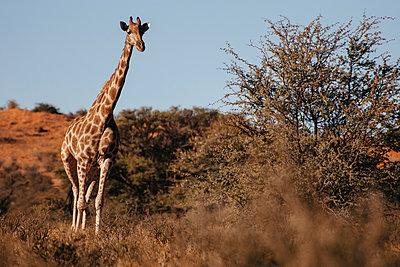 Giraffe - p1065m885906 von KNSY Bande