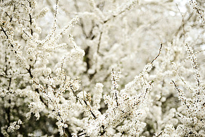 Cherry blossoms trees in spring - p1166m2106049 by Cavan Images