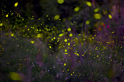 Italy, Tuscany, View of fireflies in meadow at night - p30019933f by hsimages