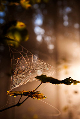 Spinnennetz im Gegenlicht - p533m955729 von Böhm Monika