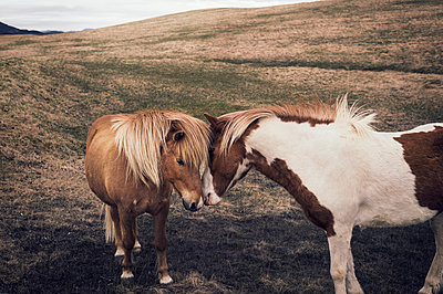 Two Iceland horses - p947m1589045 by Cristopher Civitillo