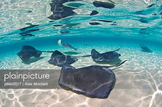 A school of Southern stingrays on a sand bar - p8402017 by Alex Mustard