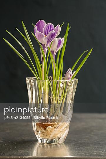 Krokus mit Wurzeln und Zwiebel in Blumenvase - p948m2134099 von Sibylle Pietrek
