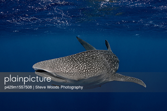 Whale shark in the waters of Tonga - p429m1557508 by Steve Woods Photography