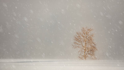 Snowfall with large snowflakes over a field with a lone tree; Sault St. Marie, Michigan, United States of America - p442m2155071 by Susan Dykstra