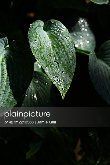Raindrops on leaves - p1427m2213533 by Jamie Grill