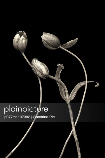 Three tulips - p977m1137392 by Sandrine Pic