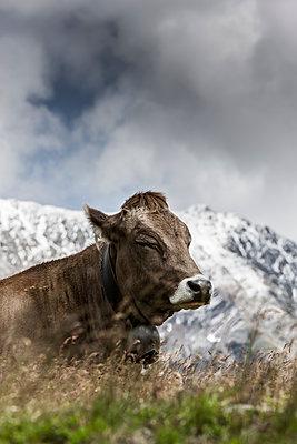 Kuh im Gebirge - p248m1181485 von BY