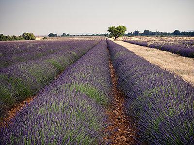 France, Provence, lavender field - p300m1581332 by Susan Brooks-Dammann