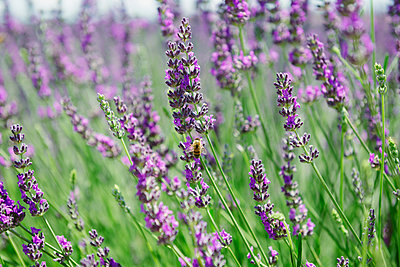 France, Provence, close-up of blooming lavender field in the summer - p300m2012547 by Gemma Ferrando