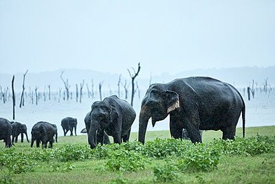 Herd of elephant grazing at Kaudulla National Park against clear sky - p300m2131769 by Christian Vorhofer