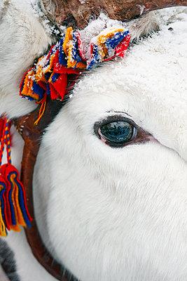 Reindeer eye, close-up - p312m1107598f by Hakan Hjort