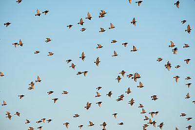 Flock of starlings in the sky - p739m2007926 by Baertels