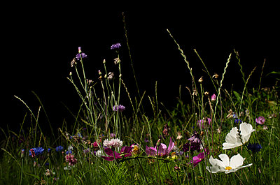 Field with wild flowers at night - p429m2145843 by Mischa Keijser