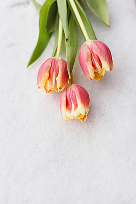 Tulips on snow - p946m973268 by Maren Becker