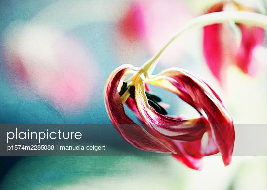 Wilted tulip - p1574m2285088 by manuela deigert