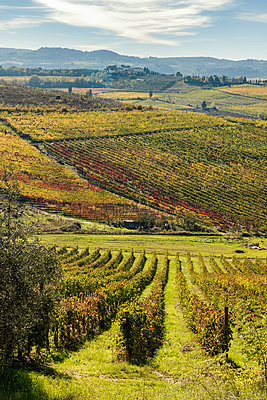 Italy, Tuscany, vineyard in the Province of Siena - p300m2024045 by Carmen Steiner