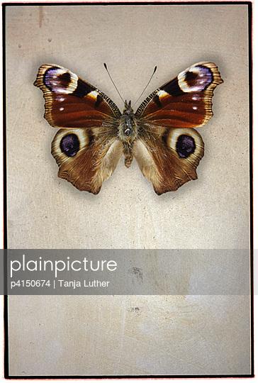 Pfauenauge - p4150674 von Tanja Luther