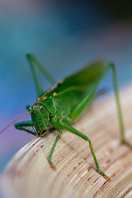 Grasshopper close-up - p7390283 by Baertels