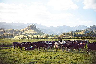 Rinderherde, Coromandel, Neuseeland - p756m2157818 von Bénédicte Lassalle