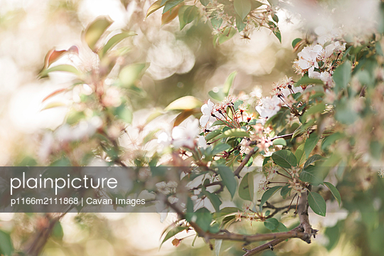 Close-up of flowers growing on trees - p1166m2111868 by Cavan Images