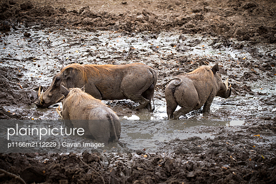 Warthogs in muddy field at Selous Game Reserve - p1166m2112229 by Cavan Images
