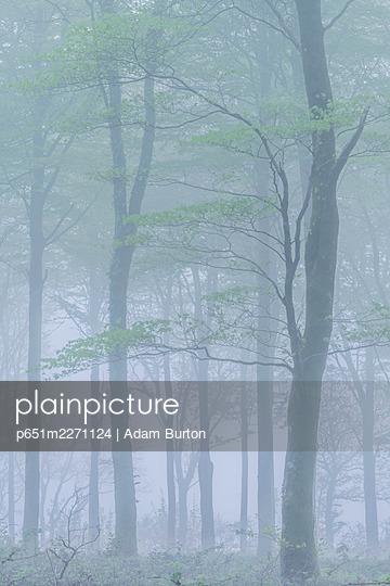 Spring deciduous woodland in fog, Cornwall, England. Spring (May) 2018. - p651m2271124 by Adam Burton