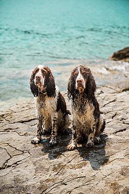 Portrait of two wet English Springer Spaniels - p300m1469863 by Roman Märzinger