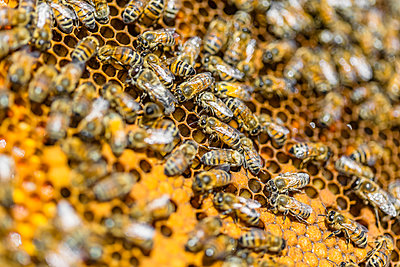 Close-up of honeybees sitting on honeycombs - p300m2121643 by Giorgio Magini