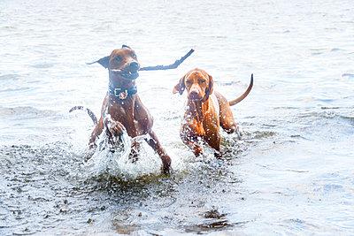 Zwei Hunde spielen im Wasser - p739m1137400 von Baertels