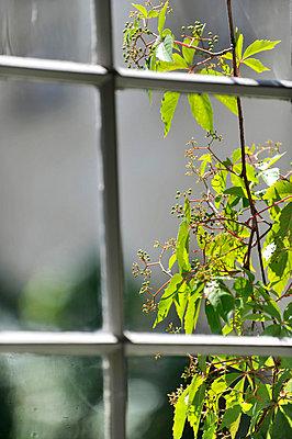 Kletterpflanze vor dem Fenster - p949m658139 von Frauke Schumann