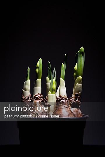 Daffodils - p1149m1208338 by Yvonne Röder