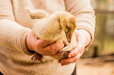 Caucasian farmer holding duckling on farm - p555m1412102 by Aleksander Rubtsov