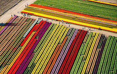 Aerial view of rows of colorful tulip fields - p924m1030363f by Pete Saloutos