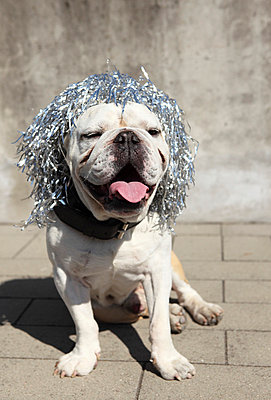 Dog with wig - p045m740238 by Jasmin Sander